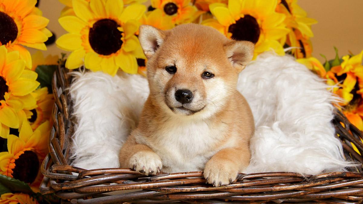 shiba inu puppy posing in a bucket
